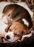 Sweet sleeping beagle puppy Royalty Free Stock Photo