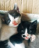 Sweet and beautiful Kittens royalty free stock images