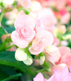 Sweet begonia beauty flower in the garden Royalty Free Stock Photos