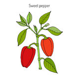 Sweet or bell pepper Capsicum annuum Stock Photos