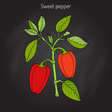 Sweet or bell pepper Capsicum annuum Royalty Free Stock Photography