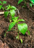 Sweet bell Pepper seedlings, young plants on a vegetable garden bed royalty free stock photos