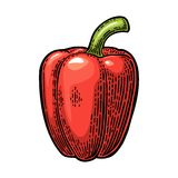 Sweet bell red pepper. Vector vintage engraved illustration. Sweet bell red pepper. Vector vintage engraved color illustration for menu, poster. Isolated on Stock Images