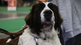 Sweet Bernese Mountain dog waiting for animal exhibition, purebred pet show stock footage