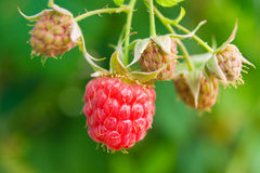 Sweet berries of raspberry Stock Photos