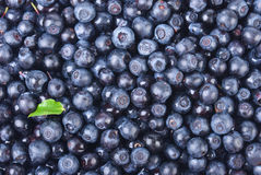 Sweet bilberries as a background. A lot of blueberries and a green leaf Stock Image
