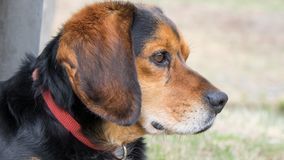Sweet Black and Brown Beagle. This sweet black and brown Beagle dog is gazing at something. Don`t you wonder what he/she is thinking stock photos