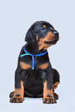 Sweet black Doberman puppy. Studio shot Royalty Free Stock Images