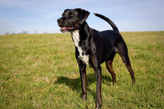 Sweet black dog standing in green field looking left Royalty Free Stock Image