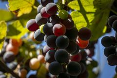 Sweet black grapes Isabella on a blurred background. Sunny day royalty free stock images
