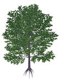 Sweet, black, mahogany, spice or cherry birch. Betula lenta tree isolated in white background - 3D render Stock Photo