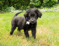 Sweet Black Puppy Stock Photography