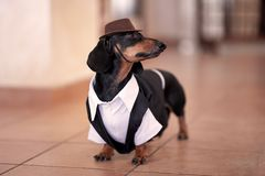 Sweet black and tan Duchshund dog wearing black tuxedo and brown hat.  Clever and attentive look. royalty free stock images