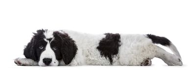 Sweet black and white Landseer pup. / dog laying down side ways with head on paws isolated on white background looking innocent into lens Stock Photo
