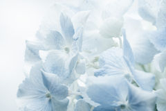 Sweet blue Hydrangeas in soft color style for romantic backgroun Stock Images