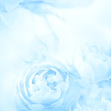 The sweet blue rose flowers for love romance background Stock Photography
