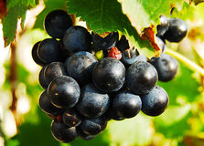 Sweet blue wine grapes. Ripe bunch of wine grapes stock images