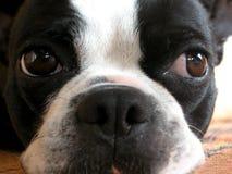 Sweet Boston. Closeup on a Boston Terrier Mug Stock Photography