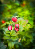Sweet Briar berries on bunch in autumn garden. Nature background stock photography