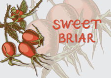 Sweet briar on the branches Royalty Free Stock Photography