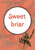 Sweet briar on the branches Stock Photo