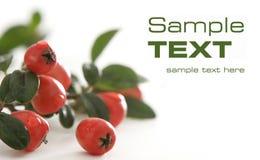 Sweet briar fruits Stock Photo