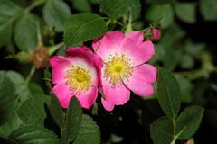 Sweet Briar Rose (Rosa rubiginosa) Royalty Free Stock Photo