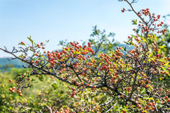 Sweet briar tree Royalty Free Stock Photography