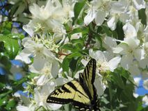 Sweet bright flowers with tiger swallowtail butterfly, Canada, 2018. Sweet bright flowers with yellow tiger swallowtail butterfly, British Columbia, Canada stock images