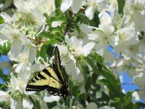 Sweet bright flowers with tiger swallowtail butterfly, Canada, 2018. Sweet bright flowers with yellow tiger swallowtail butterfly, British Columbia, Canada royalty free stock photo