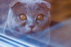 Sweet british cat with big open amber eyes view from the window royalty free stock photography