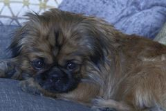 Sweet Pekingese dog ready for a nap on the sofa. stock photography