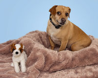 Sweet Brown Dog Sitting in Blanket with toy Stock Images