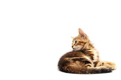 Sweet brown kitten. Little brown kitten over white background watching left Stock Photo