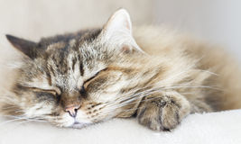 Sweet Brown Mackerel Cat Of Siberian Breed On The Scratching Post Stock Photos