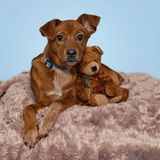 Sweet brown puppy snuggling with teddy bear on furry rug. Stock Photos
