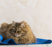 Sweet brown tabby female siberian cat lying on a blue carpet. Brown tabby mackerel cat in relax time, siberian hypoallergenic Purebred female royalty free stock images