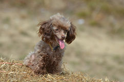 Sweet Brown Toy Poodle on a Bail of Hay Royalty Free Stock Photography