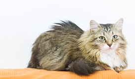 Sweet brown white cat of siberian breed on the sofa Royalty Free Stock Image