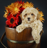 Sweet Buff Puppy With Fall Flowers Stock Image