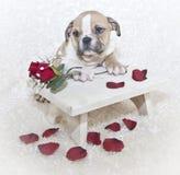 Sweet Bulldog Puppy Stock Photo