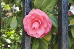 Sweet Camillia. Camillia growing through fence Charleston, SC stock image