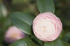 Sweet Camillia. Camillia bloom in early Spring stock images