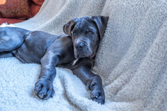 Sweet cane corso puppy lying down Royalty Free Stock Photo
