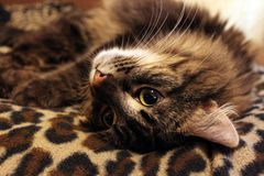 Sweet cat. On bedding (zoom Royalty Free Stock Image