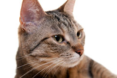 Sweet Cat Royalty Free Stock Image