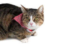 Sweet cat with bandana Royalty Free Stock Photo