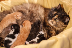 Sweet Cat family - just new born kittens with a mother cat. Red, black and white kittens. Sweet Cat family - just new born kittens with a mother cat on a yellow royalty free stock photography