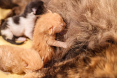 Sweet Cat family - just new born kittens with a mother cat. Red, black and white kittens. Sweet Cat family - just new born kittens with a mother cat on a yellow stock images