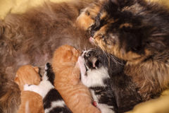 Sweet Cat family - just new born kittens with a mother cat. Red, black and white kittens. Sweet Cat family - just new born kittens with a mother cat on a yellow stock photo